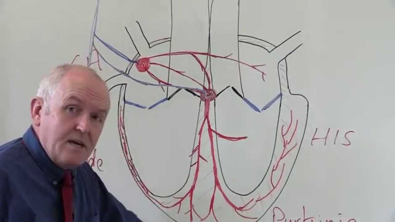 Cardiovascular System 3, Heart, electrical system