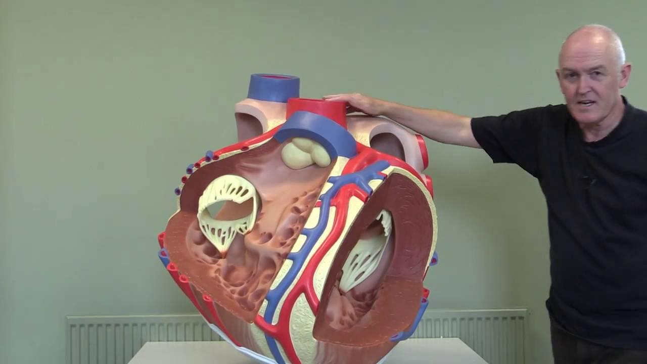 Cardiovascular System 11, Heart modle
