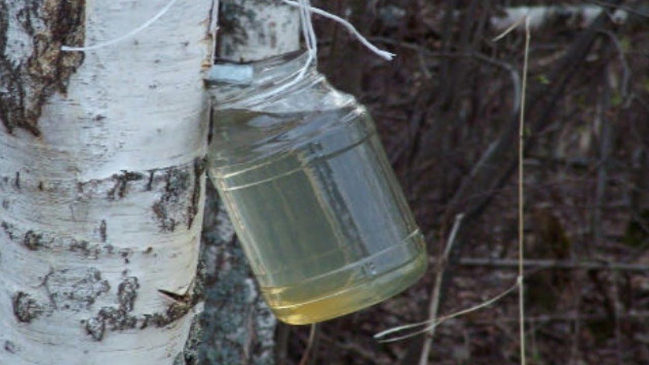 Sok od breze iz drveta - brezova voda - upotreba doziranje i lekovitost