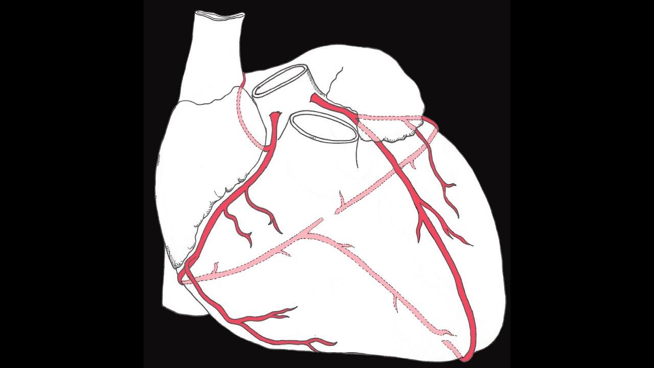 Coronary circulation of the heart