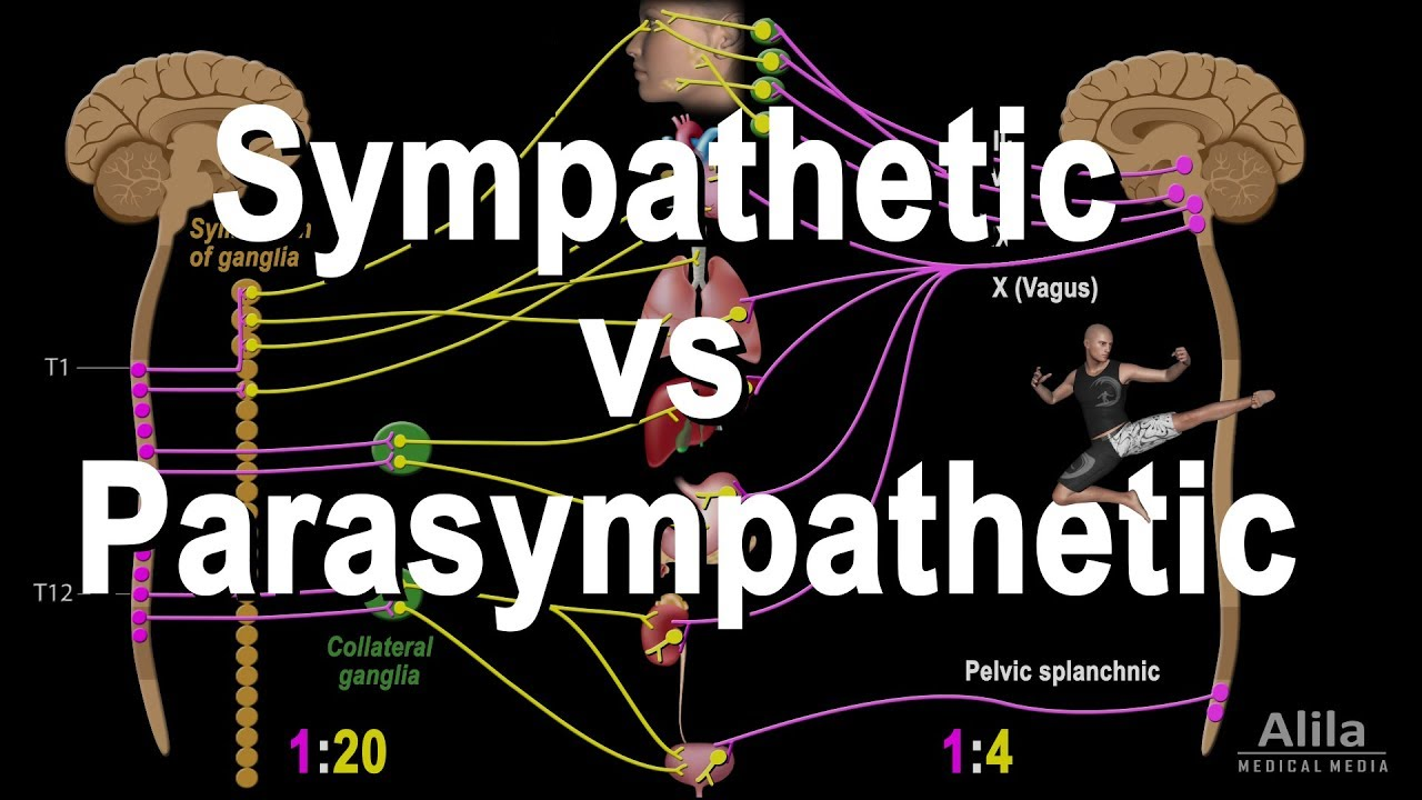 Autonomic Nervous System: Sympathetic vs Parasympathetic, Animation
